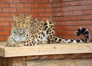 Персидский леопард, переданный России Ираном