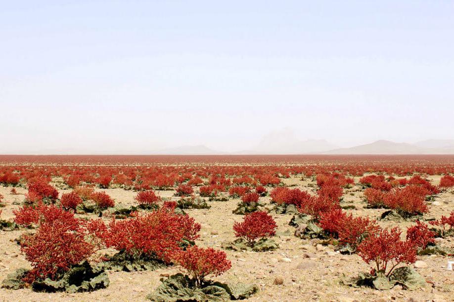 Долина ревеня, Даште-Ривас, Керман, Иран, Ревень