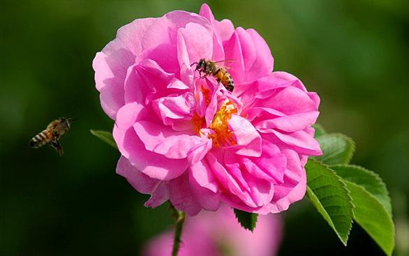 iran, golab, rose water, иран, голаб, розовая вода