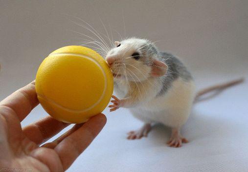 Adorable Rats (11)