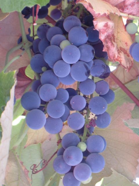 grape harvest 2012 004
