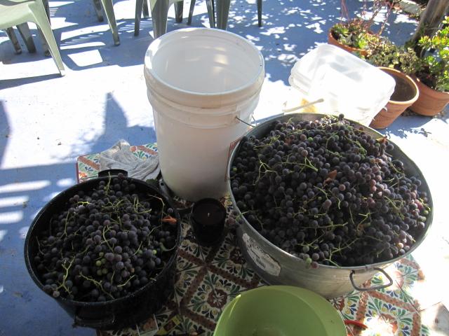 grape harvest 2012 015