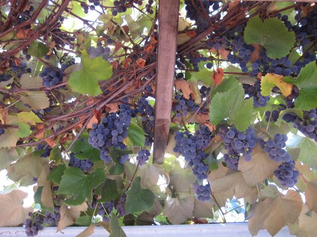 grape harvest 2012 001