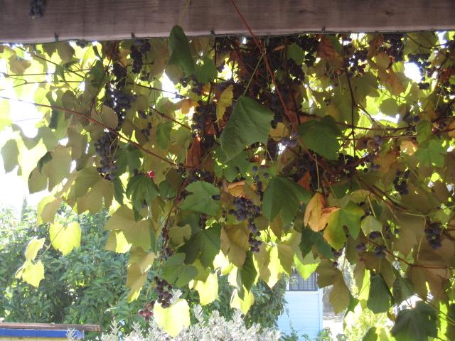 grape harvest 2012 009