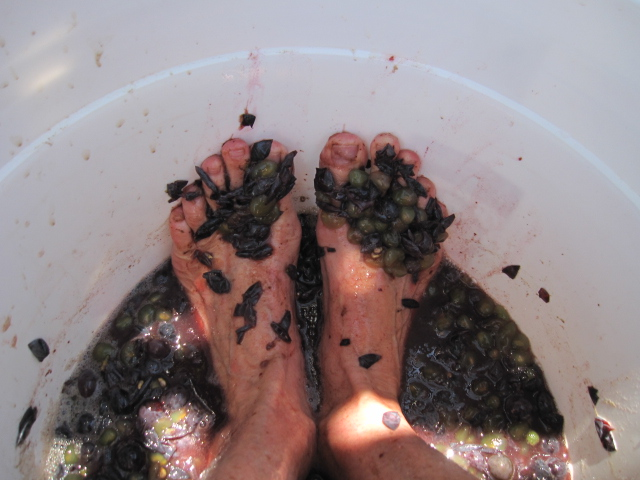 grape harvest 2012 027