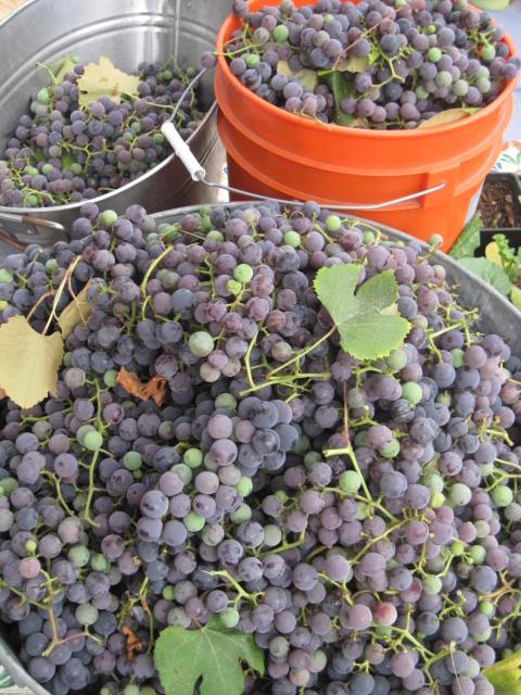 grapes 2013 (6)