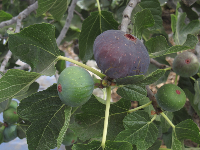 how to make fig tree bear more fruit