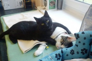 1_veterinary_nurse_cat