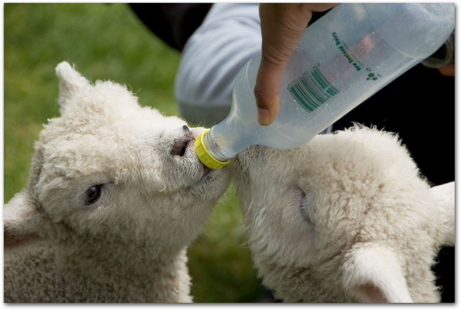 lamb with bottle