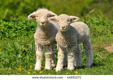 Lambies!