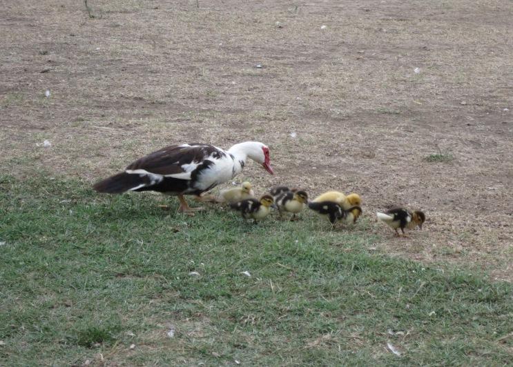 Скаури-утки