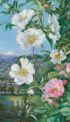 cherokee rose with peak of tenerife marianne north