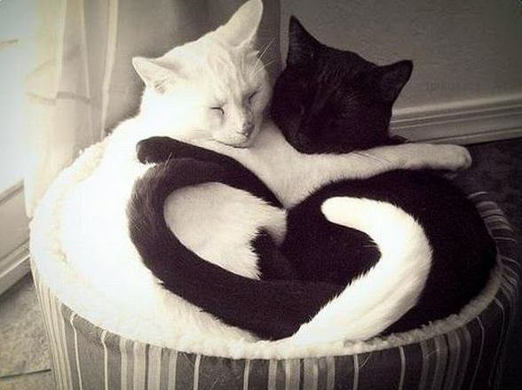 black cat white cat love tails