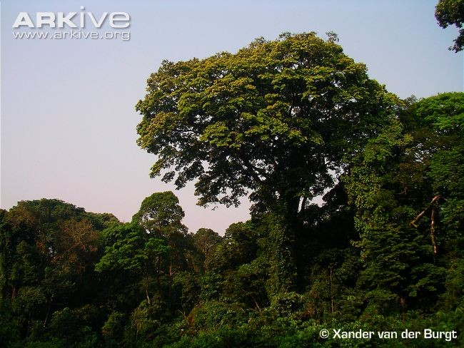 Zingana-tree-towering-over-forest-canopy