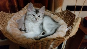 Kuura curled in cat tree bed