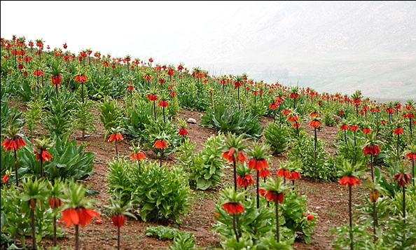 Рябчики императорский цветы 85