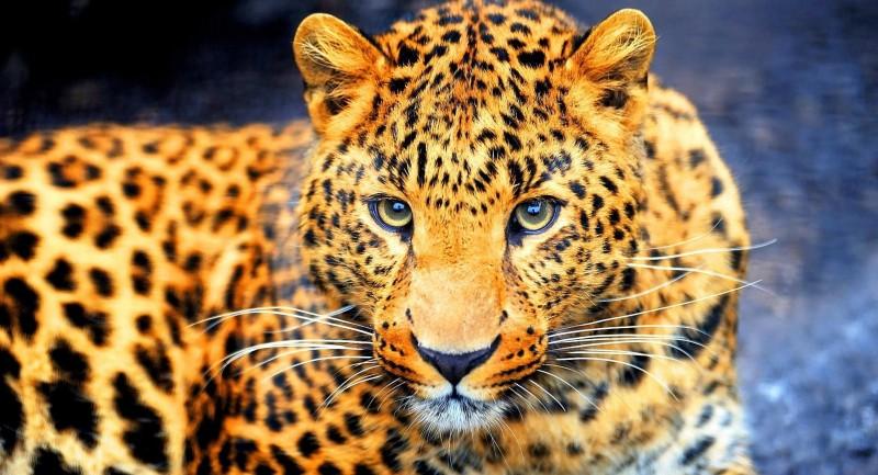 Иранский леопард