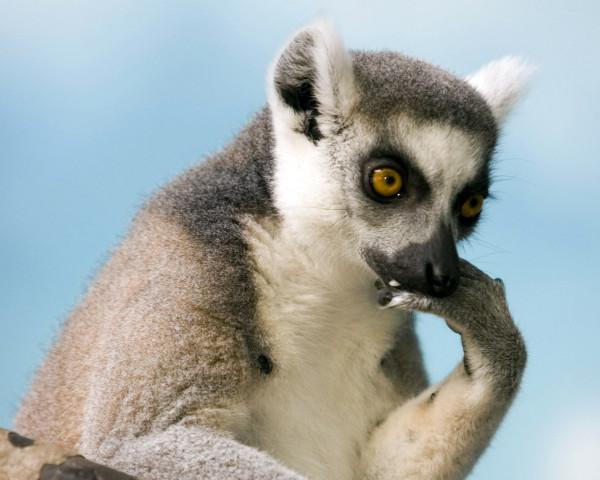 lemur+zhivotnie+57444097532