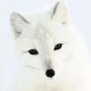 Arctic_Fox2.jpg