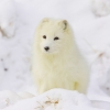 Arctic-Fox-Cute.jpg