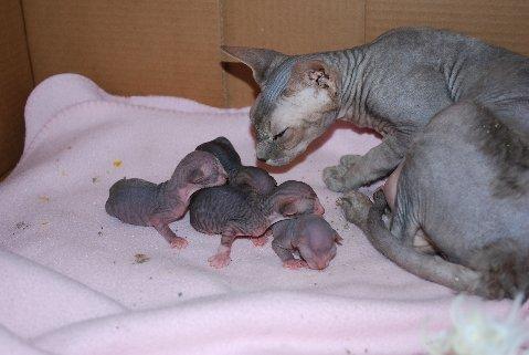Hairless Kittens: nakedcat — LiveJournal