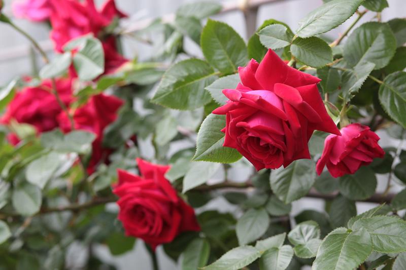 Субботние розы