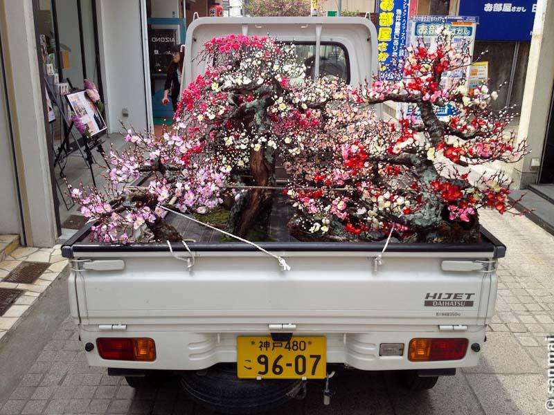 Цветущая слива бонсай в кузове грузовика