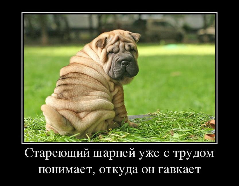 78357774_stareyuschij-sharpej-uzhe-s-trudom-ponimaet-otkuda-on-gavkaet
