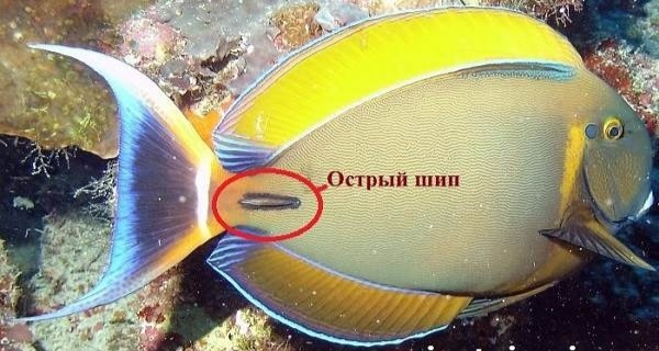 У берегов Крыма впервые поймали рыбу-хирурга с ядовитыми шипами