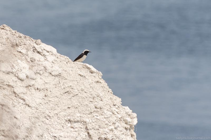 Птичий понедельник. Каменка-плешанка