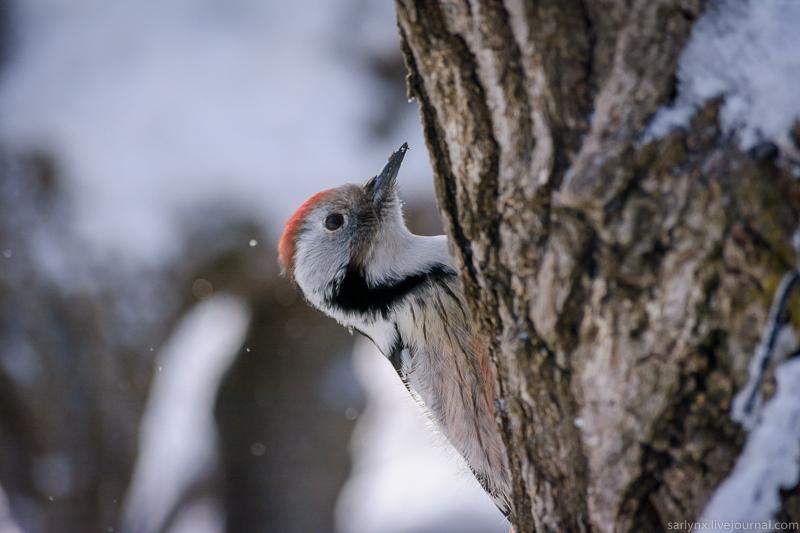 Птичий понедельник. Средний пёстрый по прозвищу Вертлявый