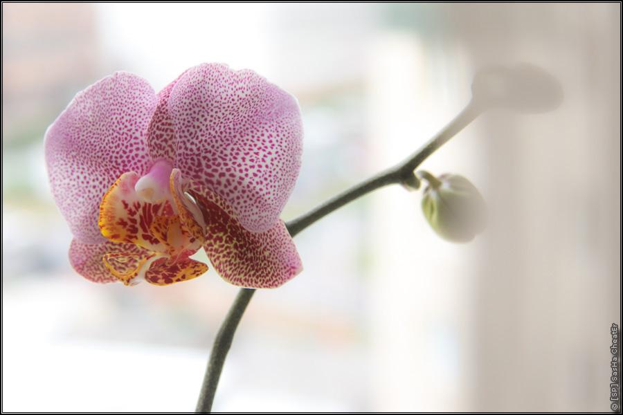 Испортилась погода и зацвела орхидея.