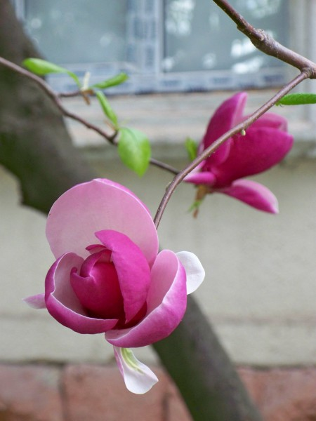 Просто Ужгород (цветы магнолии)