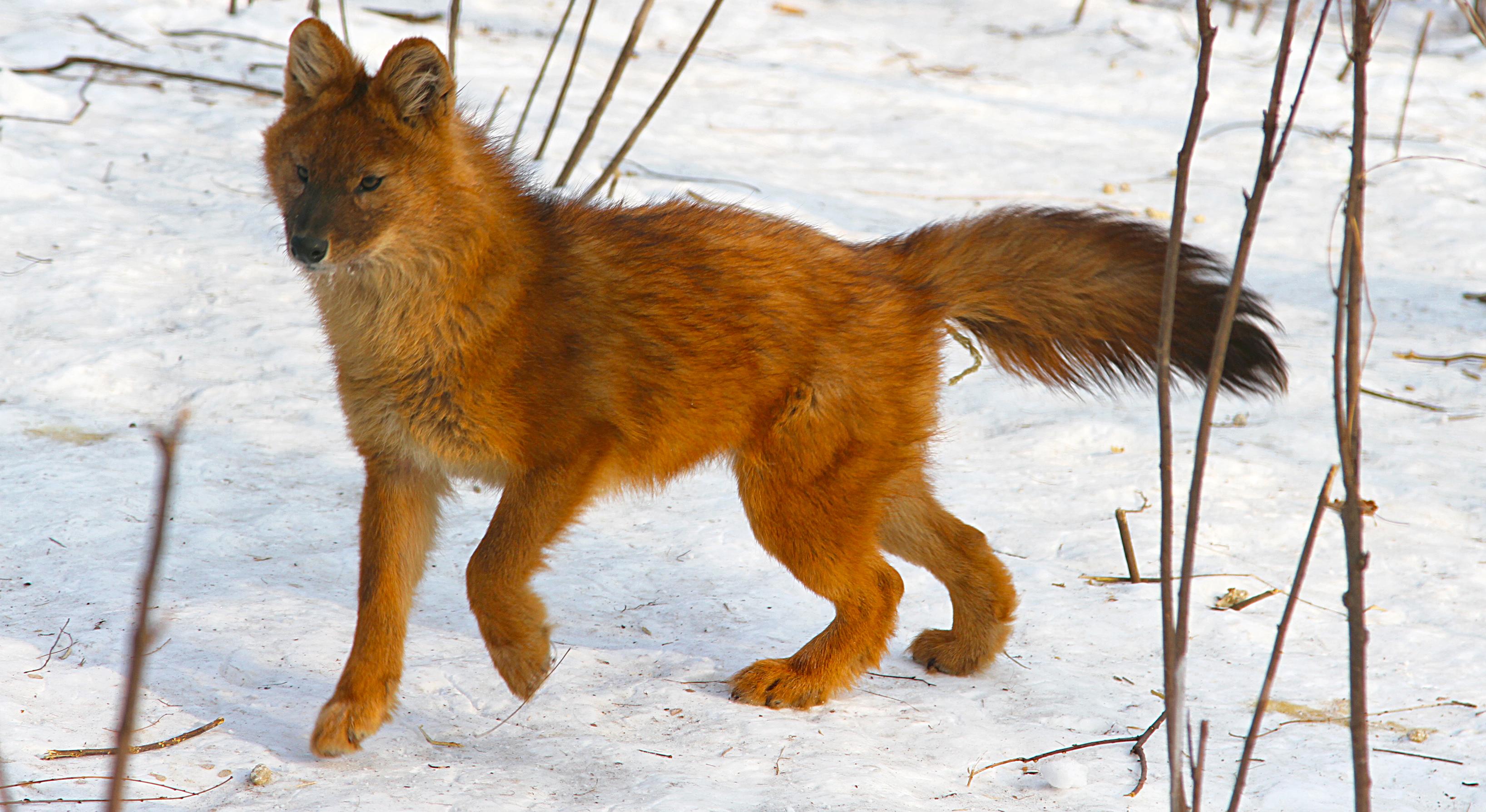 фото волков красных
