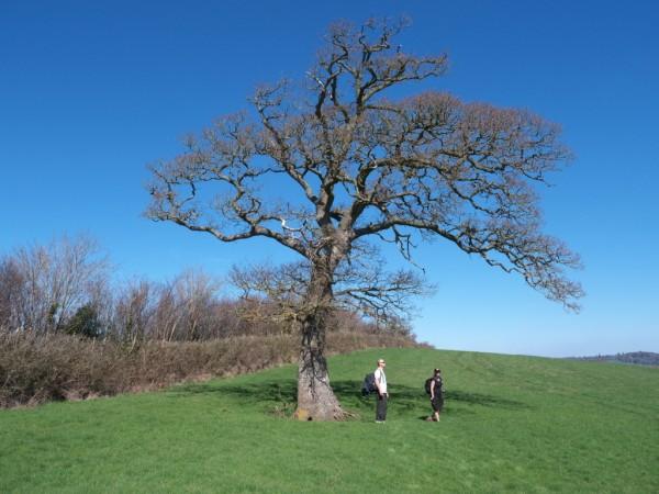 The lunch oak