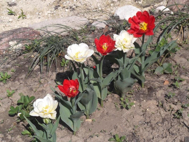 Тюльпаны DSCF1732
