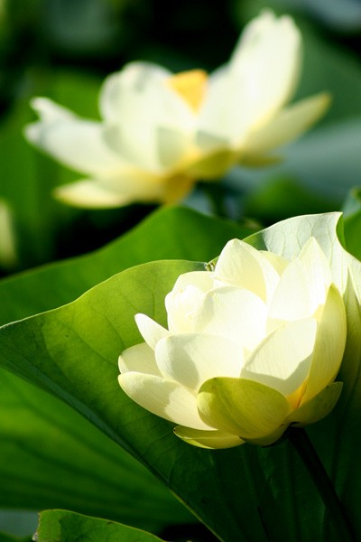 Two Lotus Blossoms