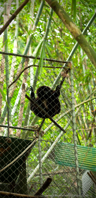 Кому в джунглях жить хорошо или проект по реабилитации гиббонов в парке Као Пра Таео