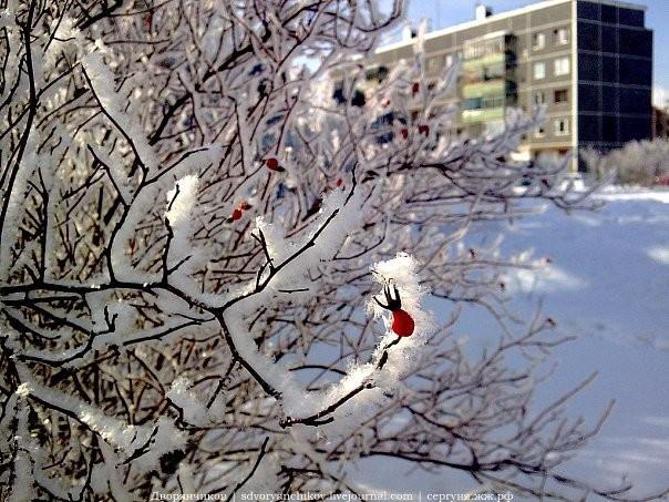 Коряжма 2010 Ленина 44 шиповник во дворе зима