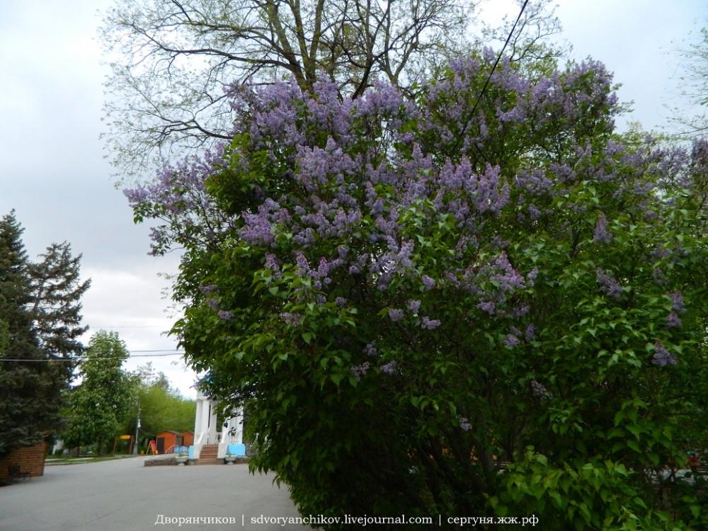 Волжский тучи 6 мая сирень цветёт Дк Вгс (12)