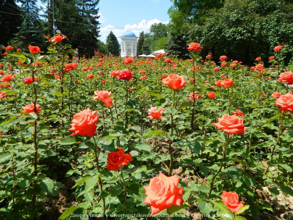 Волжский - 2 июня - розы в Парке ДК ВГС (1).JPG