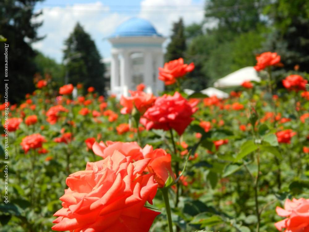 Волжский - 2 июня - розы в Парке ДК ВГС (3).JPG