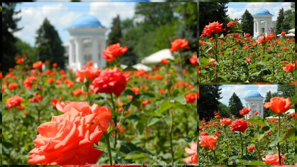 Волжский - 2 июня - розы в Парке ДК ВГС коллаж.JPG