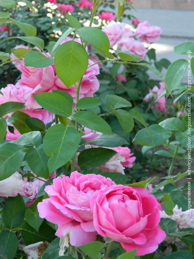Волжский - ДК ВГС 7 июня розы (7).jpg