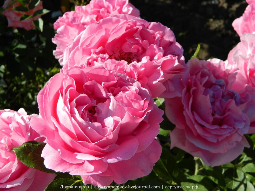 Волжский - ДК ВГС 7 июня розы (8).jpg