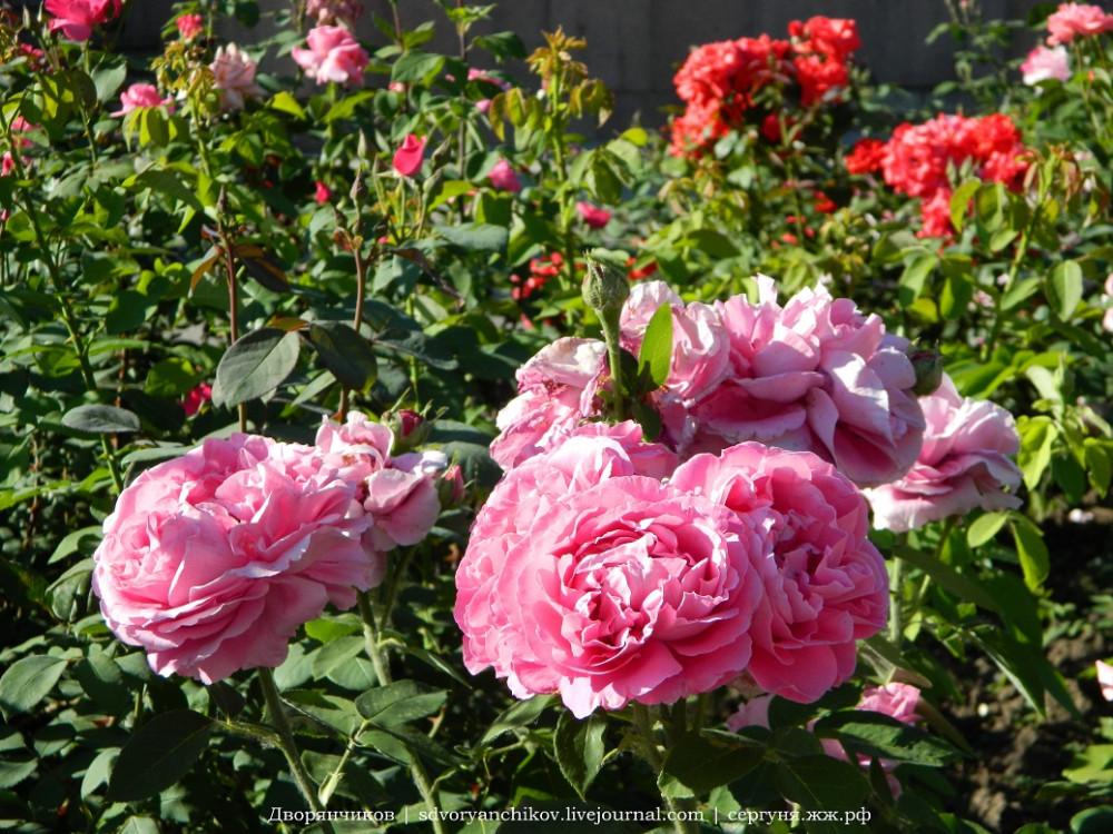 Волжский - ДК ВГС 7 июня розы (9).jpg