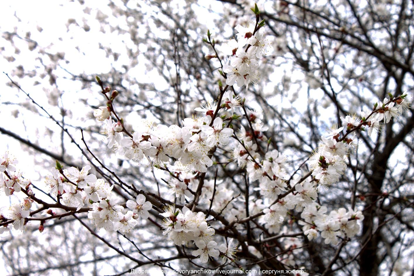 Весеннюю цветочную эстафету 2017 принимает абрикос ! :)