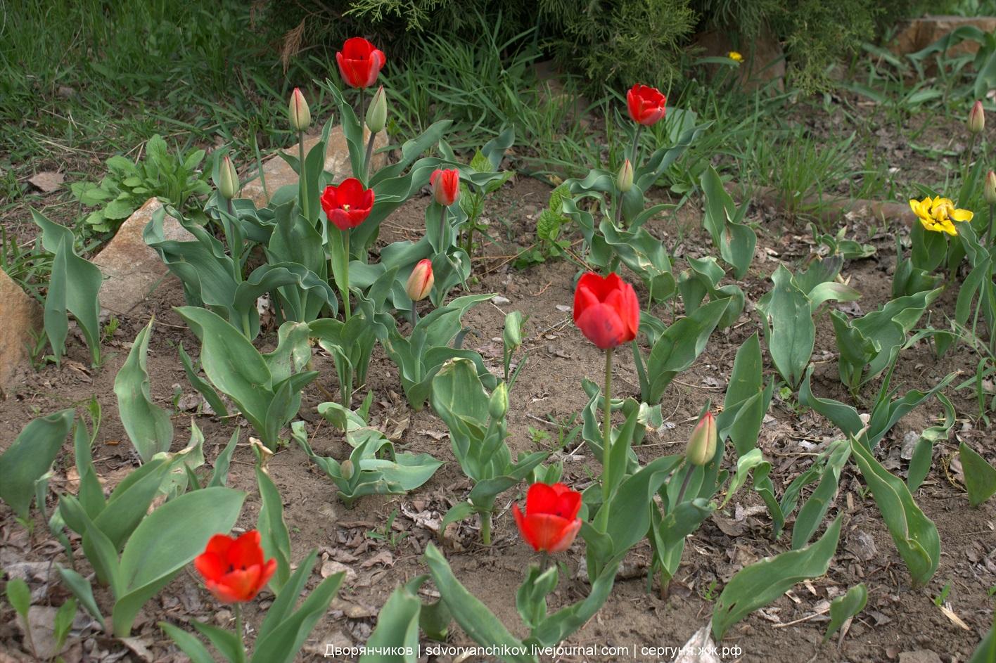 Нарциссы, тюльпаны и цветущий клён - весенняя цветочная эстафета продолжается! Парк ВГС, Волжский - 18 апреля 2017