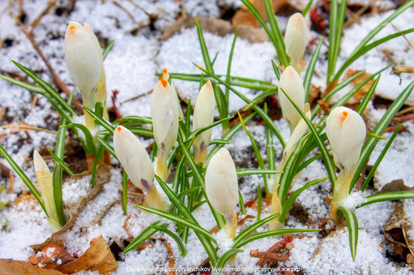 Крокусы в снегу. 30 марта 2017. Фоткал в парке ВГС, Волжский