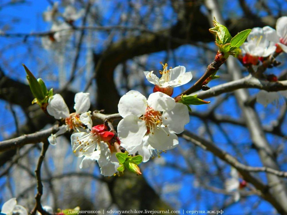 Цветущий абрикос — главный апрельский тренд каждого года